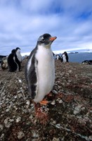 Gentoo penguin chick, Antarctica Fine-Art Print