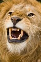 Africa, Kenya, Masai Mara, male lion bearing teeth. Fine-Art Print