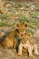 Africa, Tanzania, Katavi, lion cubs playing Fine-Art Print