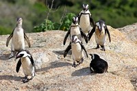 African Penguin colony at Boulders Beach, Simons Town on False Bay, South Africa Fine-Art Print