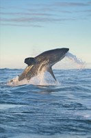 Cape Town, Great white shark moves to strike a seal Fine-Art Print