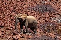 Africa, Namibia, Puros. Desert dwelling elephants of Kaokoland. Fine-Art Print