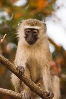Africa; Malawi; Lengwe National Park; Vervet monkey Fine-Art Print