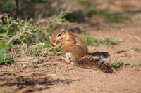 African Ground Squirrel Wildlife, Kenya Fine-Art Print
