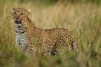 African Leopard hunting in the grass, Masai Mara Game Reserve, Kenya Fine-Art Print