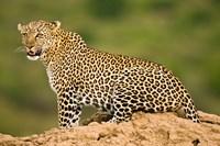 African Leopard, Masai Mara Game Reserve, Kenya Fine-Art Print