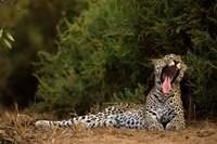 African Leopard, Masai Mara GR, Kenya Fine-Art Print