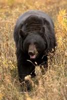 Black Bear walking in brush, Montana Fine-Art Print
