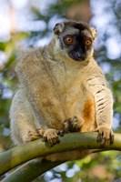 Brown Lemur in a tree in Madagascar Fine-Art Print