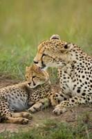 Cheetah with cub in the Masai Mara GR, Kenya Fine-Art Print