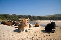 Cows, Farm Animal, Coffee Bay, Transkye, South Africa Fine-Art Print