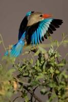 Grey-headed Kingfisher, Masai Mara GR, Kenya Fine-Art Print