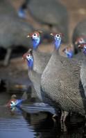 Flock of Helmeted Guineafowl, Savuti Marsh, Chobe National Park, Botswana Fine-Art Print