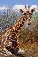 Giraffe lying down, Loisaba Wilderness, Laikipia Plateau, Kenya Fine-Art Print