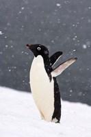 Adelie Penguin in Falling Snow, Western Antarctic Peninsula, Antarctica Fine-Art Print