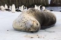 Chinstrap Penguins and Leopard Seal, The South Shetland Islands, Antarctica Fine-Art Print