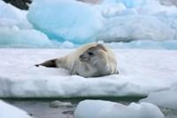 Crabeater seal lying on ice, Antarctica Fine-Art Print