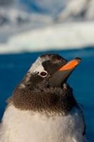 Gentoo penguin chick, Western Antarctic Peninsula Fine-Art Print