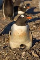 Gentoo penguin, South Shetland Islands, Antarctica Fine-Art Print