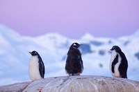 Gentoo penguin, Western Antarctic Peninsula Fine-Art Print
