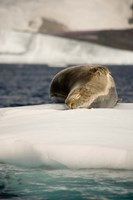 Antarctica. Leopard seal adrift on ice flow. Fine-Art Print