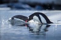 Antarctica, Anvers Island, Gentoo Penguins diving into water. Fine-Art Print
