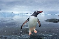 Antarctica, Cuverville Island, Gentoo Penguin leaping onto shore. Fine-Art Print