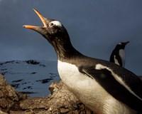 Antarctica, Cuverville Island, Portrait of Gentoo Penguin nesting. Fine-Art Print