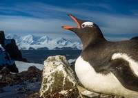 Antarctica, Livingstone Island, Flash portrait of Gentoo Penguin. Fine-Art Print