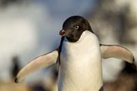 Adelie Penguin portrait, Antarctica Fine-Art Print