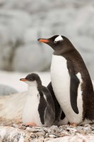 Antarctica, Petermann Island, Gentoo Penguins Fine-Art Print