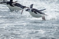 Antarctica, South Shetland Islands, Chinstrap Penguins swimming. Fine-Art Print