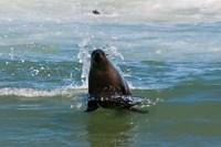 Cape fur seal, Arctocephalus pusilus, Skeleton Coast NP, Namibia. Fine-Art Print
