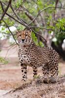Cheetah, Kapama Game Reserve, South Africa Fine-Art Print
