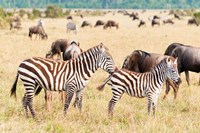 Common Zebra or Burchell's Zebra, Maasai Mara National Reserve, Kenya Fine-Art Print