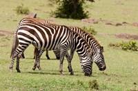 Zebra grazing, Maasai Mara, Kenya Fine-Art Print