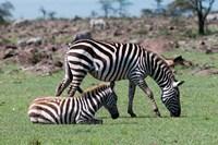 Common Zebra, Maasai Mara, Kenya Fine-Art Print