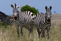 Common Zebra, Masai Mara National Reserve, Kenya Fine-Art Print