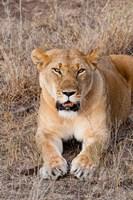 Female lion, Maasai Mara National Reserve, Kenya Fine-Art Print