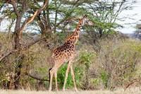 Giraffe, Maasai Mara National Reserve, Kenya Fine-Art Print
