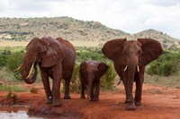 Elephants and baby, Tsavo East NP, Kenya. Fine-Art Print