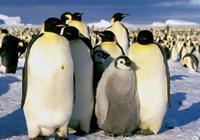 Emperor Penguins, Atka Bay, Weddell Sea, Antarctic Peninsula, Antarctica Fine-Art Print