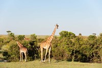 Giraffe, Giraffa camelopardalis, Maasai Mara, Kenya. Fine-Art Print