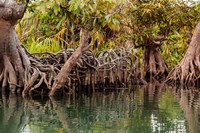 Africa, Liberia, Monrovia. View of mangroves on the Du River. Fine-Art Print