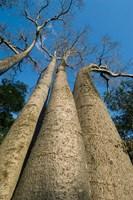 Baobab Trees, Ampijoroa-Ankarafantsika NP, MADAGASCAR Fine-Art Print