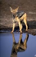 Botswana, Chobe NP, Black Backed Jackal wildlife Fine-Art Print