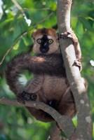 Brown Red-fronted Lemur, Primate, Madagascar Fine-Art Print