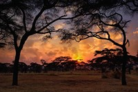 Acacia forest, sunset, Tarangire National Park, Tanzania Fine-Art Print