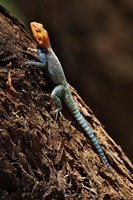 Agama Lizard, Samburu National Game Reserve, Kenya Fine-Art Print