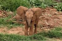 Baby Africa elephant, Samburu National Reserve, Kenya Fine-Art Print